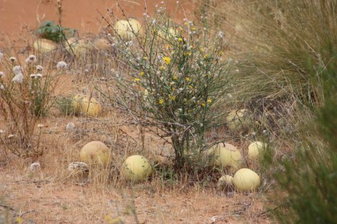 The Paddy Melons of Perry Sandhills. Good for bowling with, apparently.