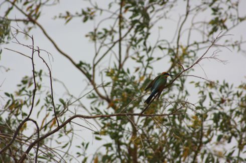 Rainbow bee-eater (original ID by Lorne Johnson @LorneJohnson1)