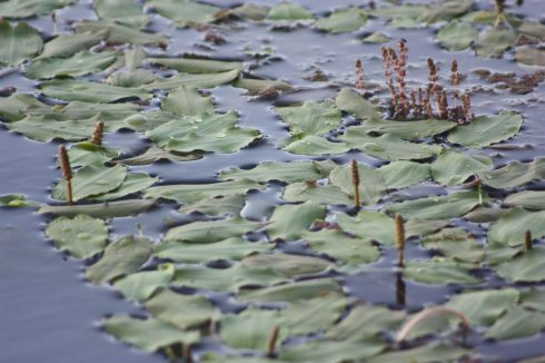 Water lilies at Plushes Bend of Murray River