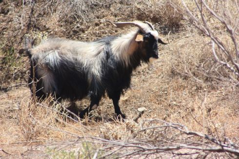 Parachilna Mountain Goat