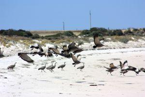 Cape Barren Geese 2