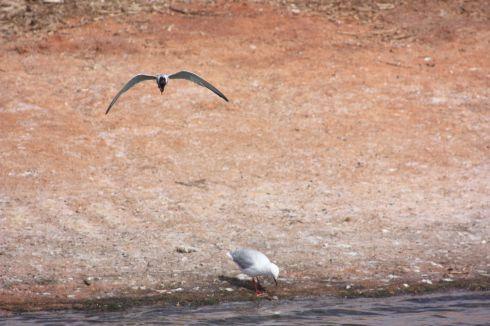 Tern hunting hardyheads