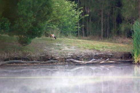 Lagoon Fox